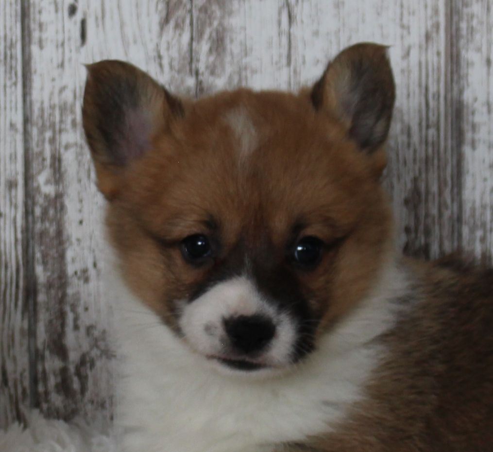 Carson Male Welsh Corgi Puppy In Harlan Indiana Puppies Cavapoo Puppies Corgi Puppy