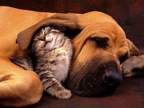 Kitteh uses hound dog ear as a blanket.