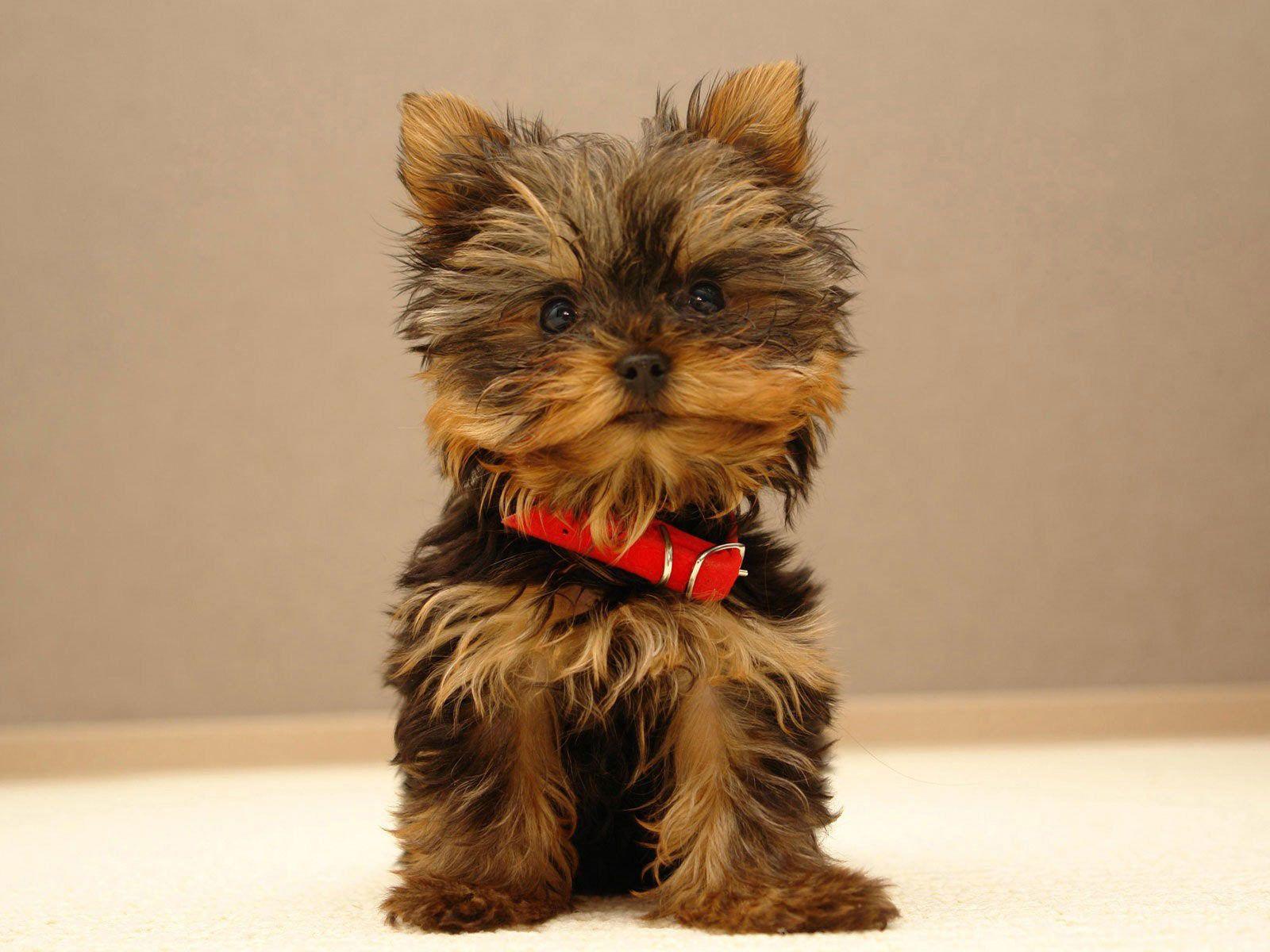 When were yorkshire terrier first bred