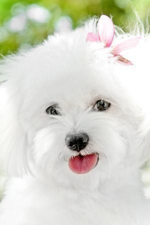 Bichon Frise Frise Bichon Frise White Puppies Cute Dogs