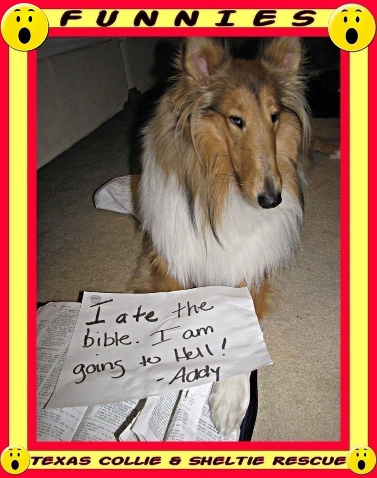 From Texas Collie And Sheltie Rescue Rough Collie Sheltie