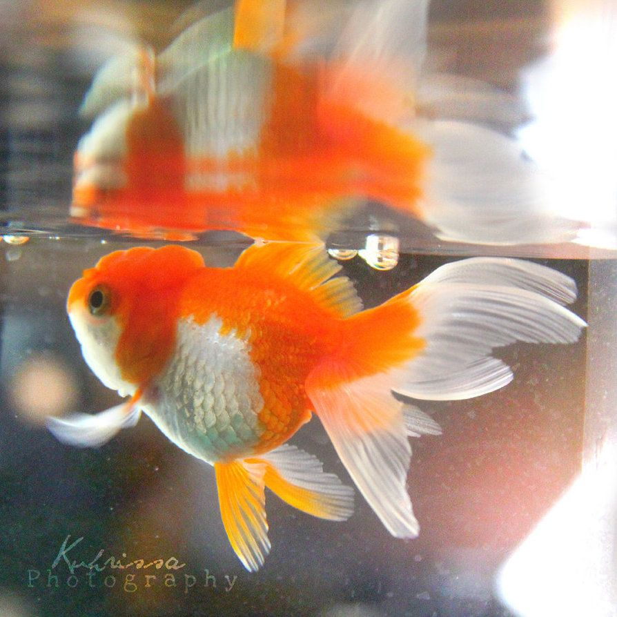 Goldfish pinteres for Tropical fish pond