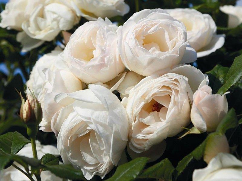 kletterrose uetersener klosterrose rosen tantau roses