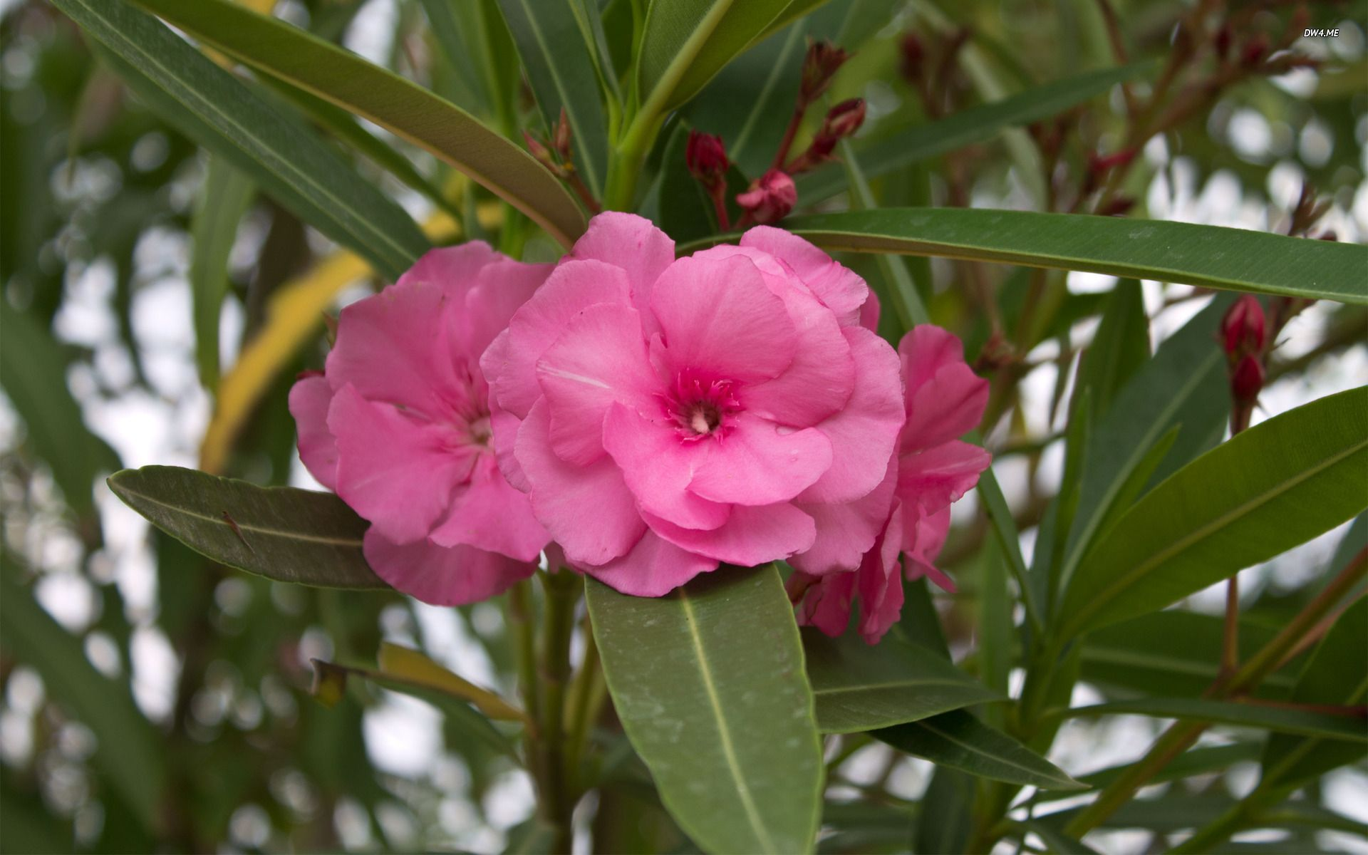 Oleander Flower Oleander Pinterest Flower And Flowers
