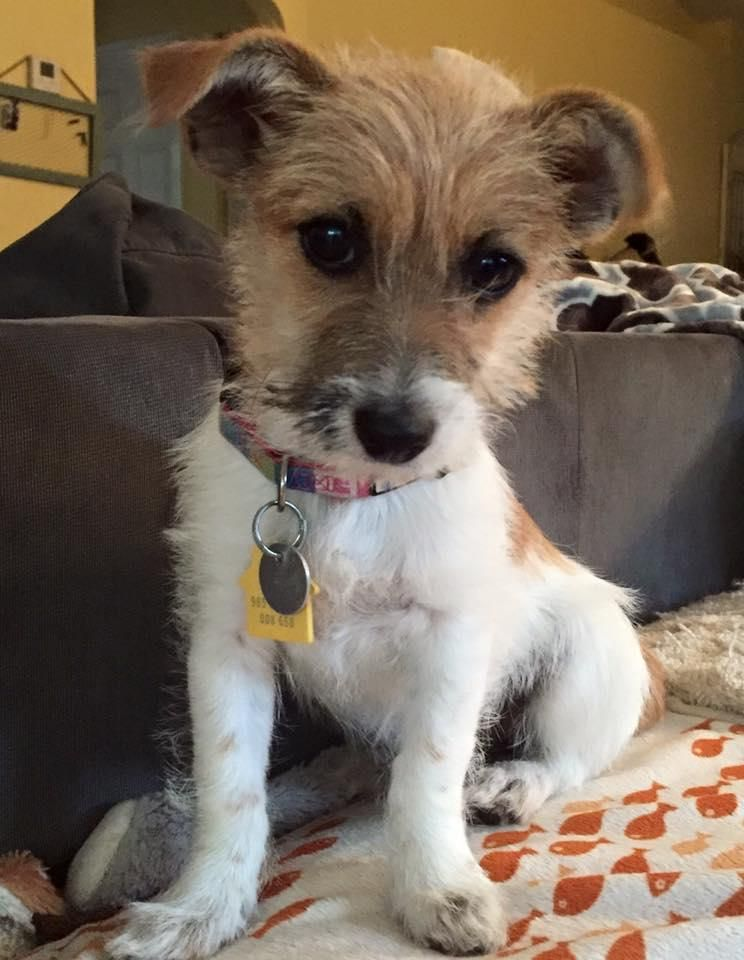 maltese jack russell terrier mix lacey is an adoptable yorkshire terrier yorkie maltese 4159