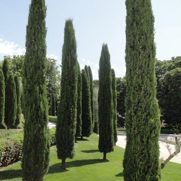 Cipres italico cupressus sempervirens stricta for Variedades de pinos para jardin