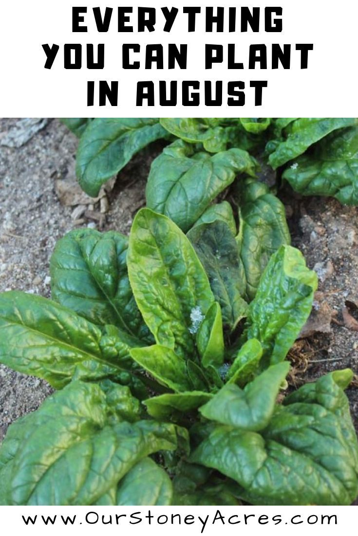 9 crops you can plant in August for fall and winter harvest is part of Food garden, Gardening tips, Plants, Vegetable garden, Autumn garden, Garden plants - There are over 30 different crops you can plant in August  I am going to focus on the 9 crops you can plant in August that are the base fall & winter crops