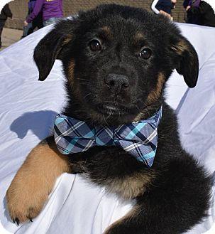 Labrador Retriever Terrier Unknown Type Medium Mix Puppy For
