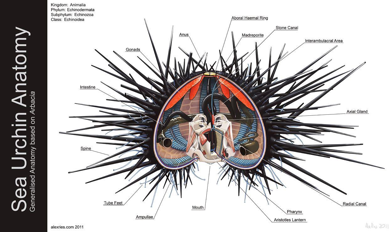 Sea Urchin Anatomy by Abiogenisis | Describing Nature | Pinterest ...