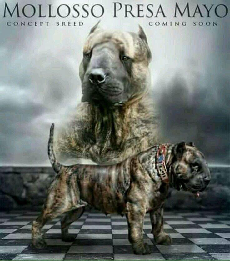 Bull Terrier X American Bully X Presa Canario Dogs Bull Terrier