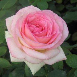Eden (Pierre de Ronsard) Climbing Rose - front porch?