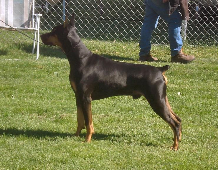 How To Get A Doberman With Legally Docked Tail And Cropped Ears
