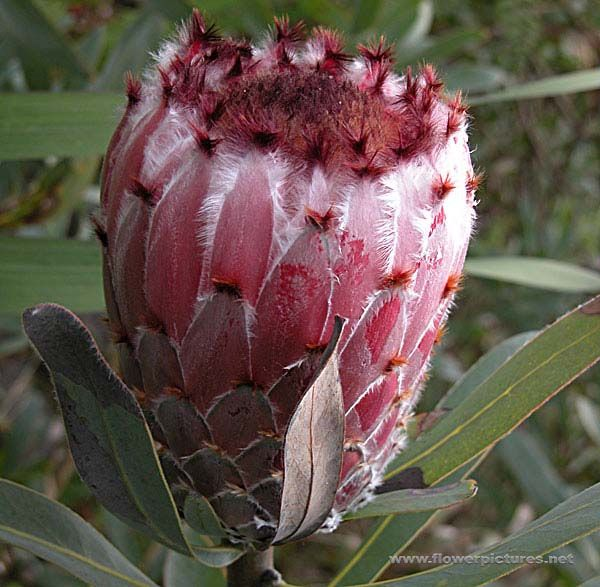 Pink mink protea protea neriifolia the pink mink is native to pink mink protea protea neriifolia the pink mink is native to mightylinksfo