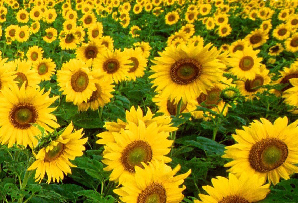 Sunflower Helianthus Annuus Is Named After Its Huge Fiery Blooms Whose Shape And Image Is Ofte Yellow Flower Wallpaper Yellow Flowers Sunflower Photography