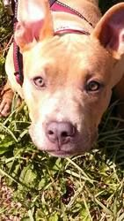Jasper is an adoptable Pit Bull Terrier Dog in Colorado Springs, CO. Jasper is about 6 months old neutered and up to date on shots he is doing good wi th house training crate training gets along with ...