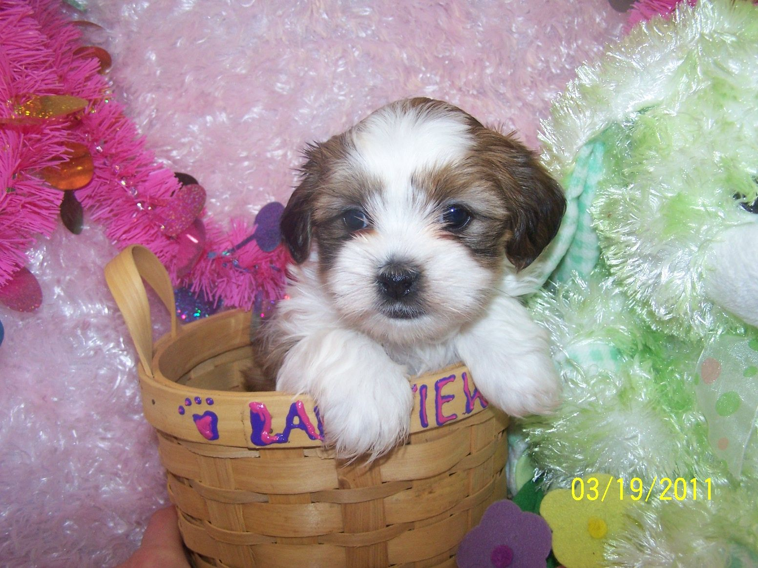 Puppies For Sale Puppies For Sale In Mo Lakeview Kennels Shih