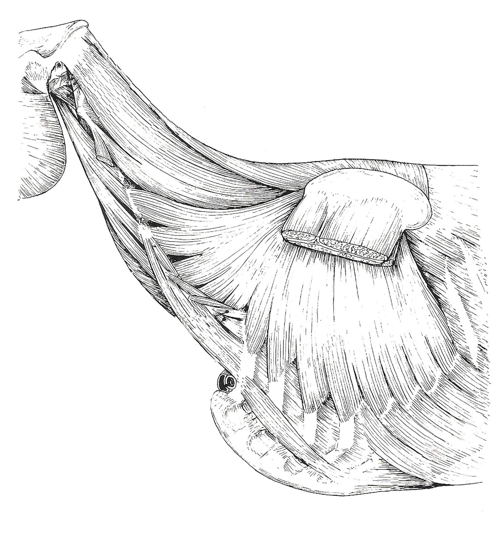 tercera capa cuello equino | Anatomía Veterinaria | Pinterest ...