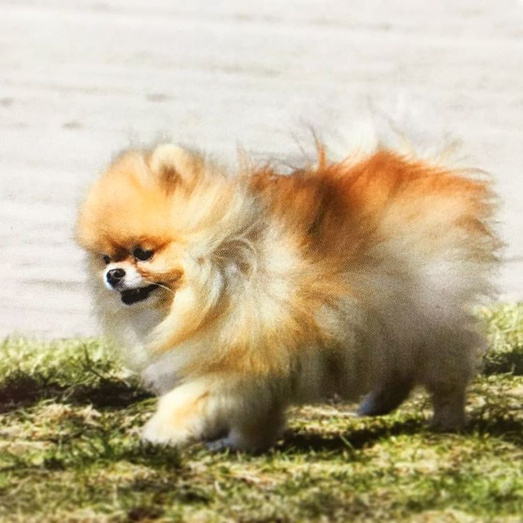 Spotted Pup Pomeranian Pom Dog Puppy Pup Cute Fluffy