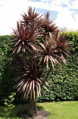 Cordyline Australis Purpurea Purple Cabbage Palm Tropical Garden Design Plants Tropical Landscaping