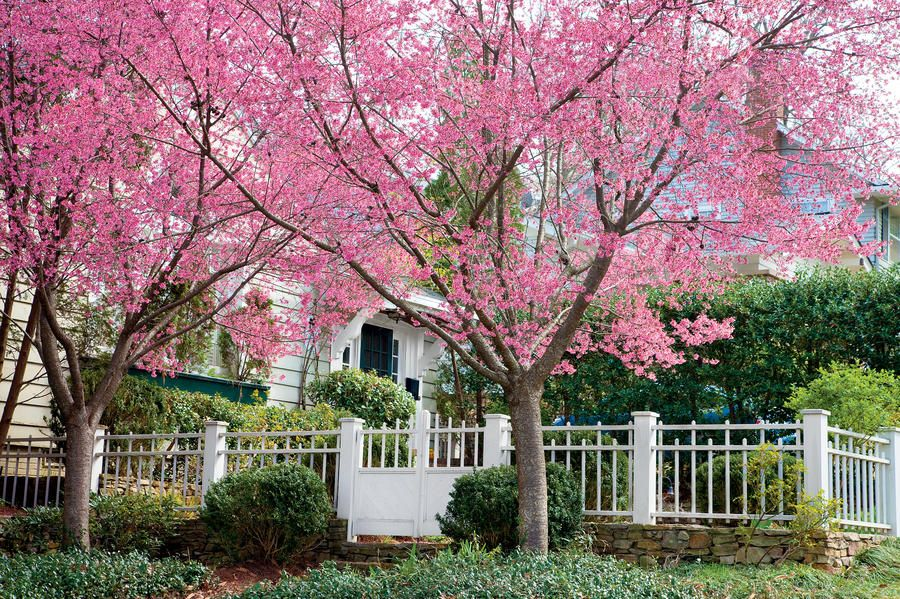 Grow Your Own Cherry Blossoms Flowering Cherry Tree Japanese Cherry Tree Spring Blooming Trees