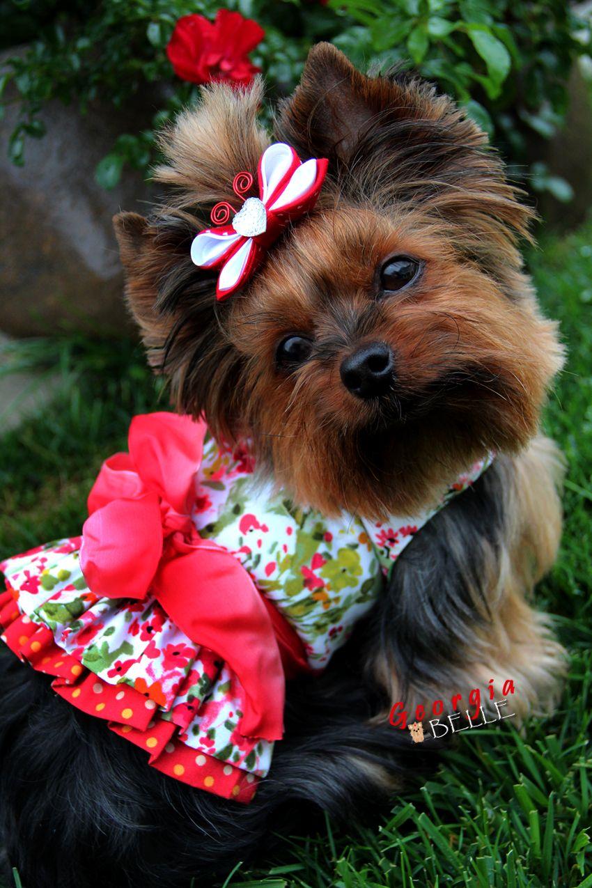Little Miss Georgia Belle Maltese Yorkie Puppy Yorkie Puppy Yorkie Lovers