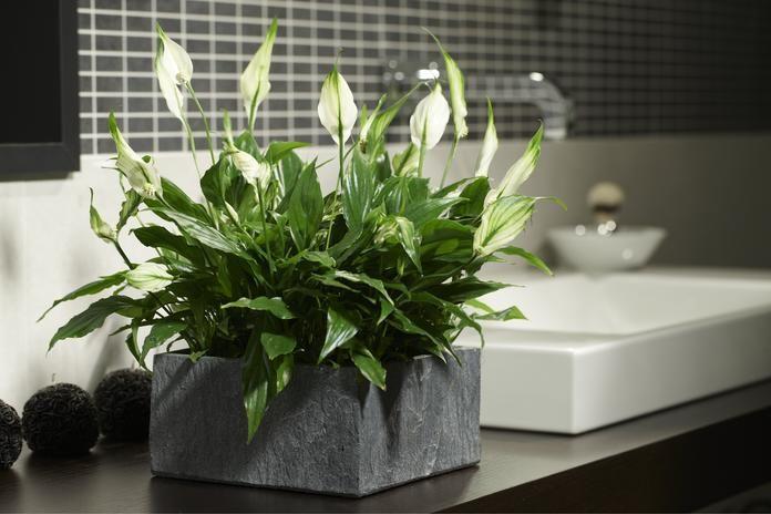 das sind die 5 besten pflanzen f rs badezimmer blumen pinterest jardins et id e. Black Bedroom Furniture Sets. Home Design Ideas