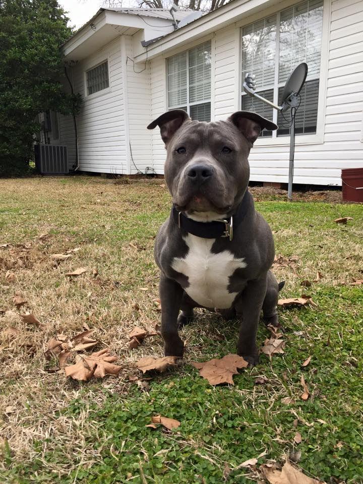 Maxwell Cain X Nile American Bully Pitbull Breeders Pitbulls