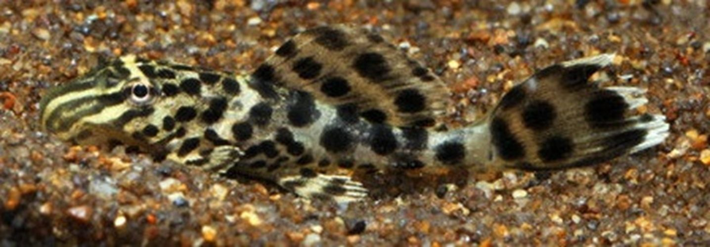 Ranger Pleco World S Smallest Pleco Fish 1 Pleco Fish Freshwater Aquarium Fish Small Catfish