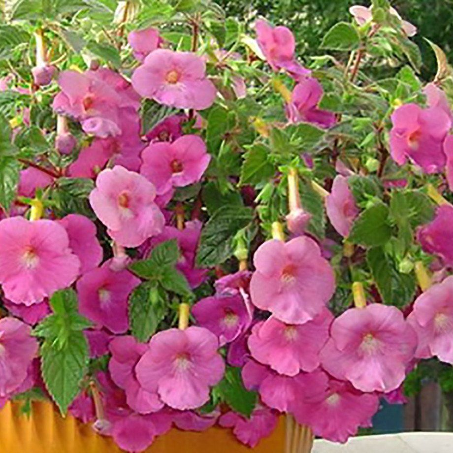 Achimenes Pink Clouds Pink Clouds Tuberous Begonia And Woodland