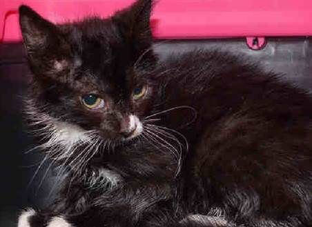 Reba A1045436 Brooklyn To Be Destroyed 08 04 15 Perfectly Healthy Tuxie Kitten Dumped As A Stray Has A Great Behavio Adopt Don T Shop
