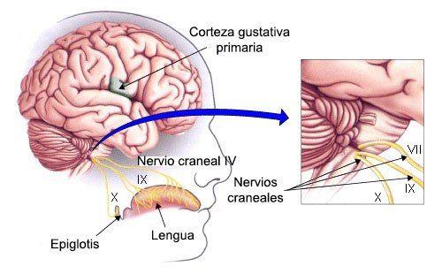 Psicobiología de los sentidos: el Gusto | Anatomía y fisiología ...