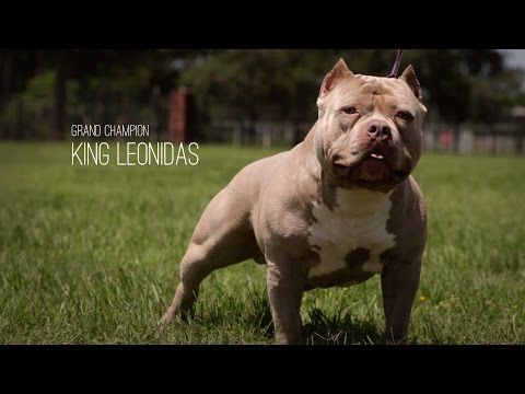 American Bully Grand Champion King Leonidas American Bully American Bully Kennels Bullying
