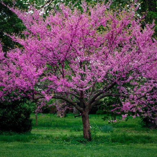 Patio Trees Shade Redbud Tree