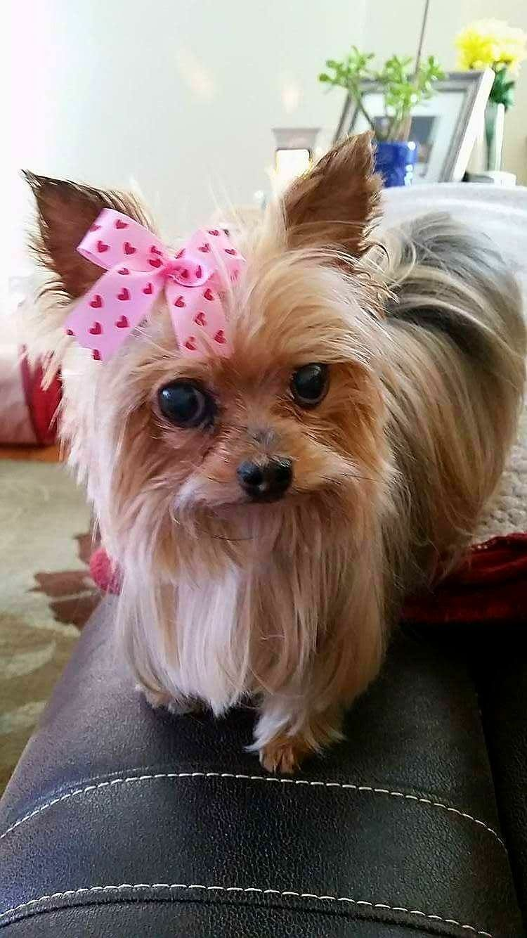 Pin by natalie boone on yorkies pinterest yorkie love and dogs