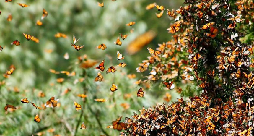 MONARCHS IN WINTER Declines in the numbers of monarch butterflies crowding into winter refuges in Mexico (shown) raise the question of what's going on the rest of the year. ~~ Pablo Leautaud/Flickr (CC BY-NC 2.0)
