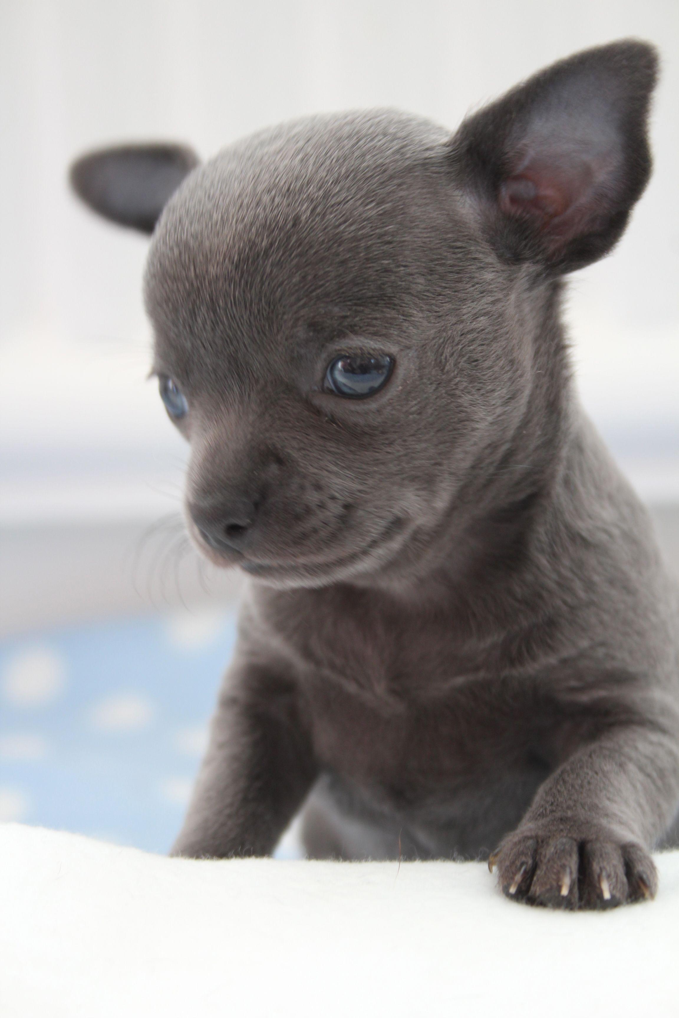Rare Lilac Chihuahua Blue Chihuahua Puppies Chihuahua