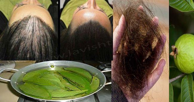 les feuilles de goyave peuvent arr ter 100 votre perte de cheveux et les faire pousser comme. Black Bedroom Furniture Sets. Home Design Ideas