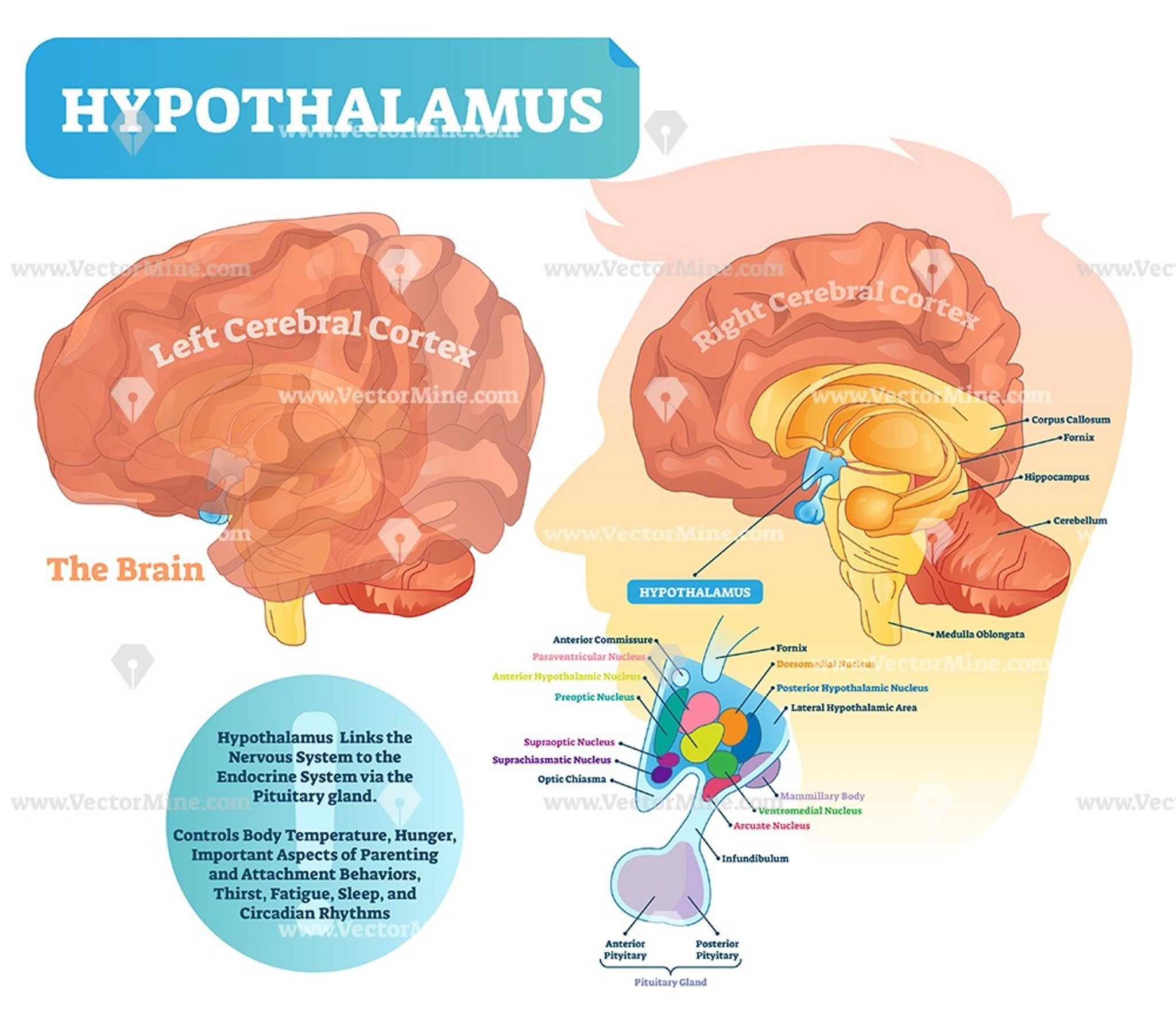 Hypothalamus Medical Brain Vector Illustration Diagram Human Body Anatomy Brain Vector Medical Surgical Nursing
