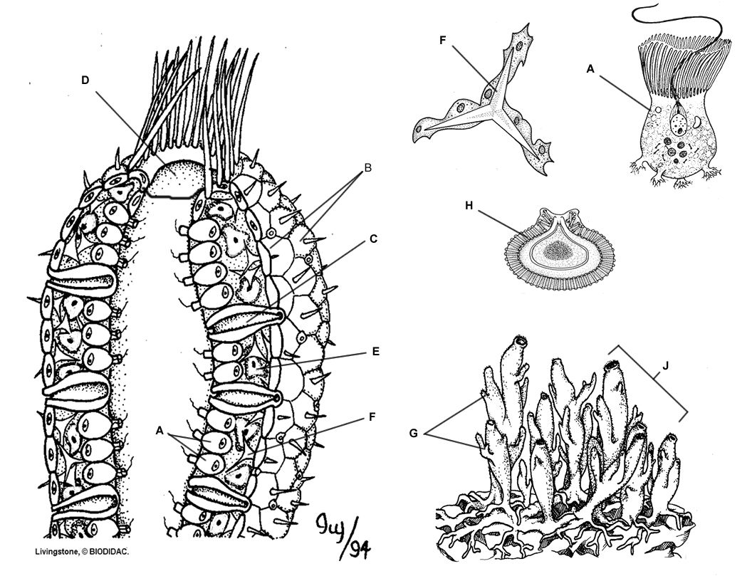 Picture Phylum Porifera(Metazoa) Pinterest