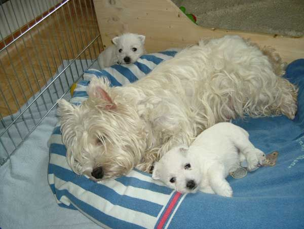 White Miracle Of Switzerland Westies Welpen Galerie Babyhunde Hundebaby Hunde