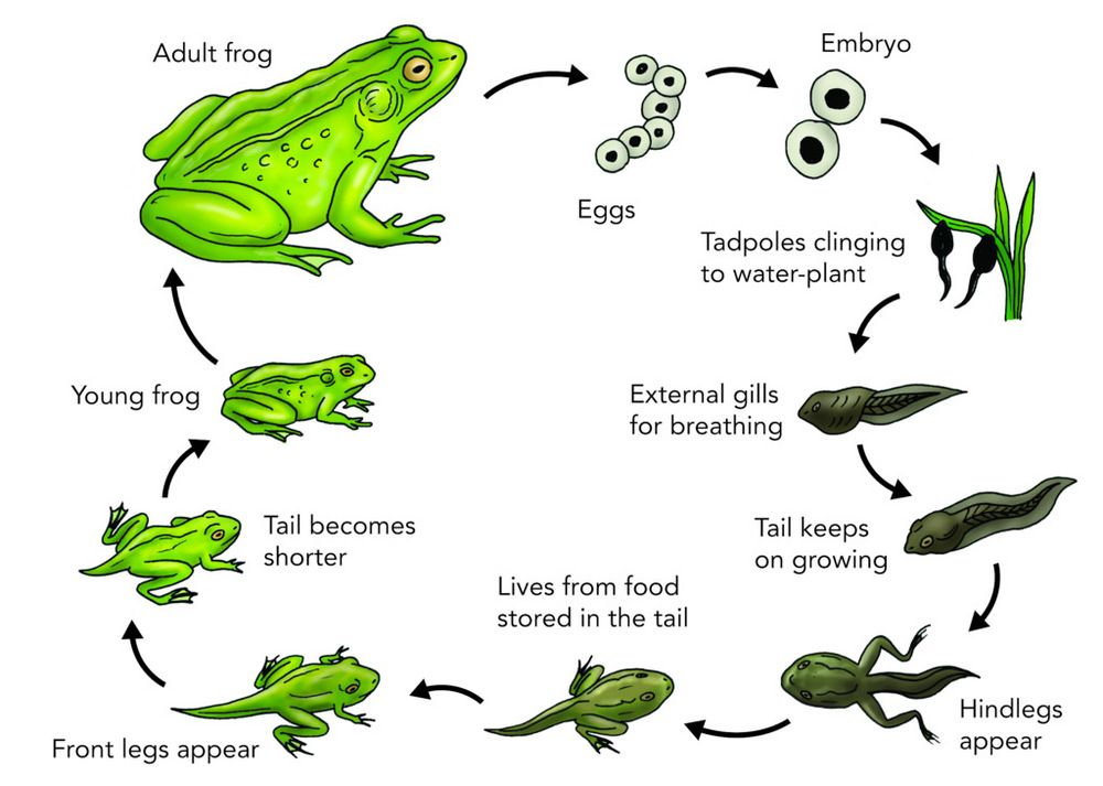 Learn Science Through Frog Life Cycle Coloring Pages Coloring Pages Lifecycle Of A Frog Life Cycles Frog Life