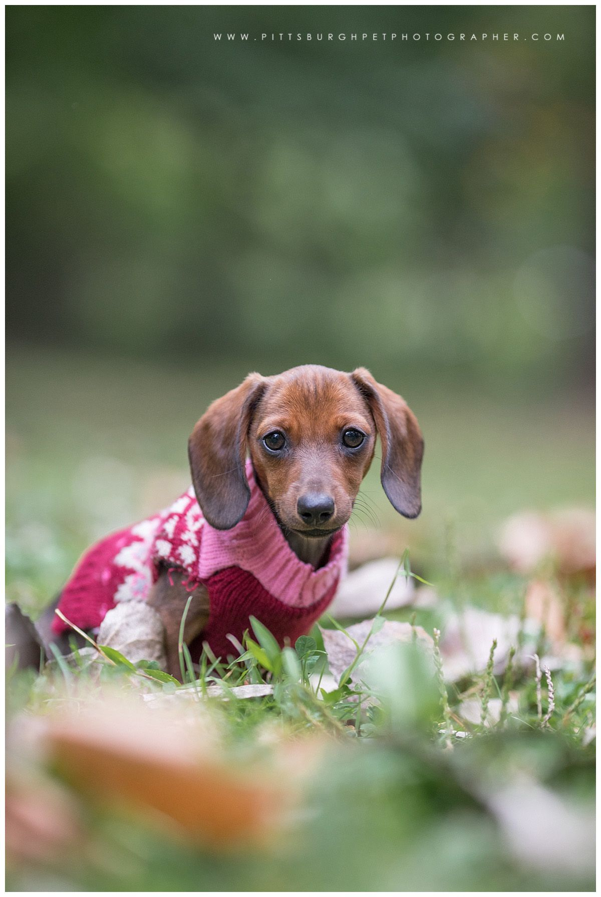 Ruby Miniature Dachshund Puppy Sewickley Pa Pittsburgh Pet