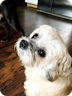 Shih Tzu Dog For Adoption In West Berlin New Jersey Frankie