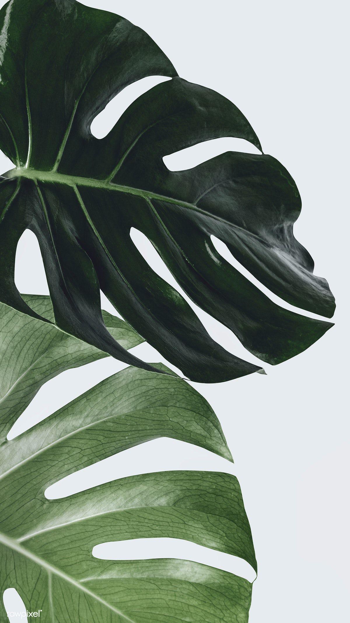 Download Premium Image Of Monstera Plant Leaf Wall Art 2259878 Leaf Wall Art Iphone Wallpaper Plants Plant Wallpaper