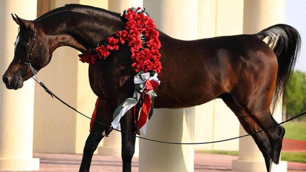 الحصان العربي المصري الأصيل الفحل الأسطورة رويال كلرز من أجمل الخيول الع Horses Arabian Horse Arabians