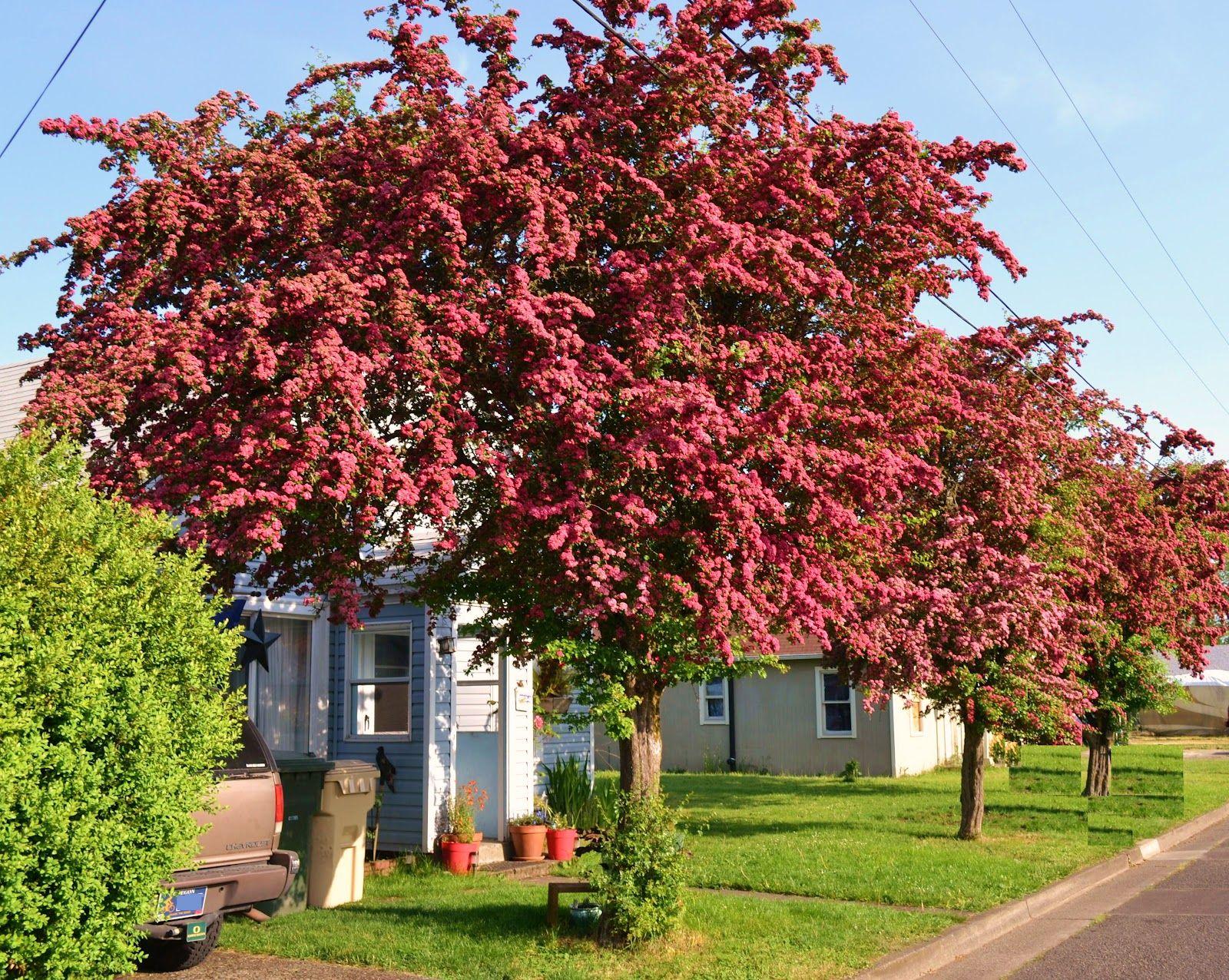 Hawthorn tree, Oregon garden, Plants