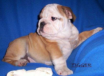 Akc English Bulldog Puppies For Sale English Bulldog Puppies