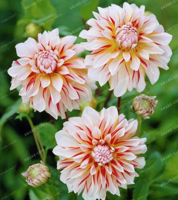 Rare Mixed Colors Dahlia Seeds Beautiful Perennial Flowers Seeds Dahlia For Diy Home Garden 10 Pcs Bag Dahlia Flower Amazing Flowers Beautiful Flowers