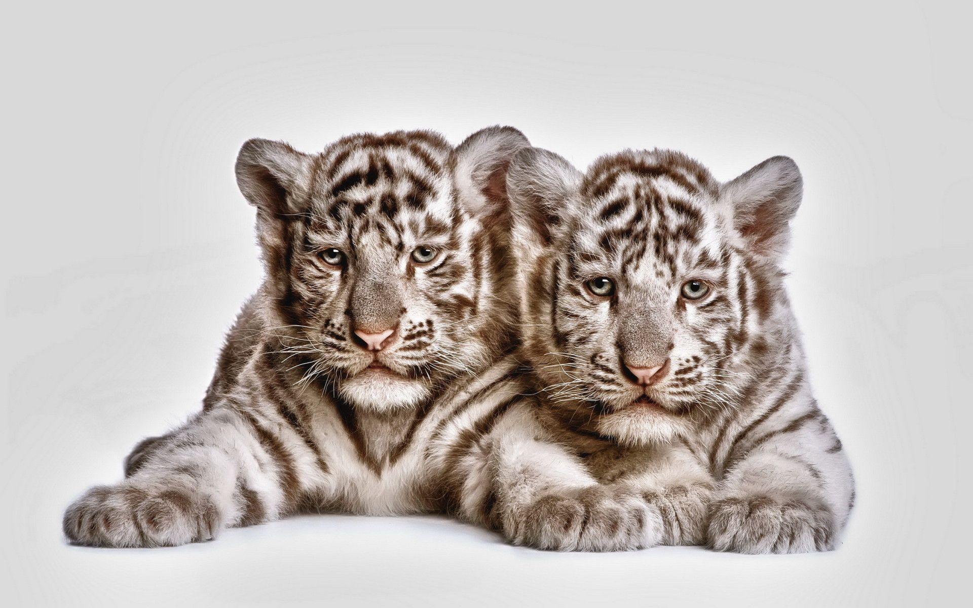 White Tiger Computer Wallpapers Desktop Backgrounds 1920x1200 Id 318785 Cute Tiger Cubs Baby White Tiger White Tiger Cubs