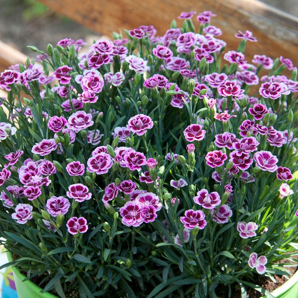 In My Garden Now Pink Dianthus Pink Dianthus Dianthus Flowers Carnation Plants